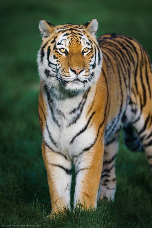 Sumatran Tiger (Panthera tigris sondaica)