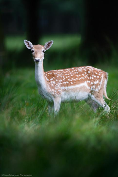Female fallow deer (Dama dama)