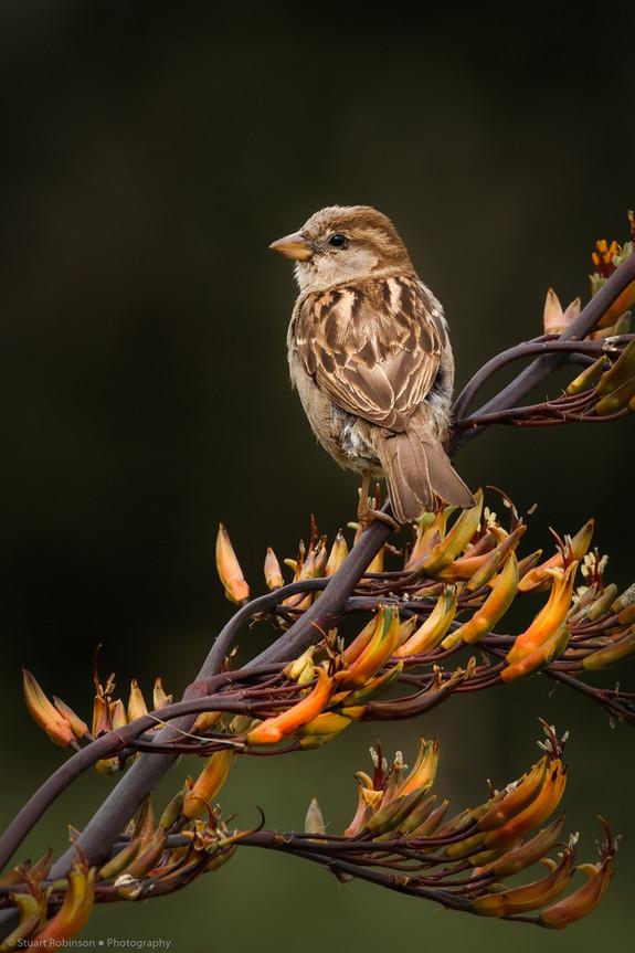 Female house sparrow (Passer domesticus)