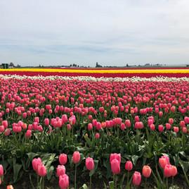 Tulip Town & Roozengarde Display Gardens.