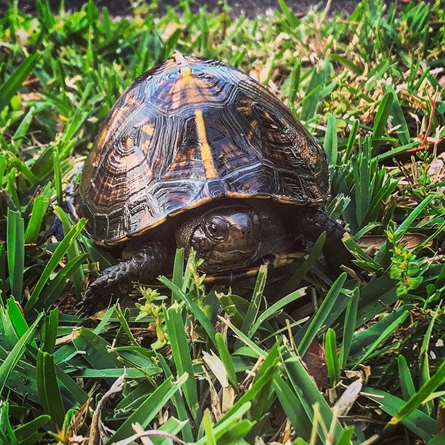 Saved this little guy from a pool today. 🐢 Most people don't realize that box turtles are actually