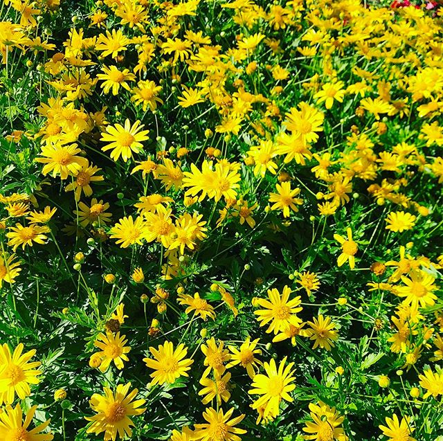 The flowers are poppin' y'all! #theturftailors #30A #lawncare #lawnmaintenance #miramarbeach #destin