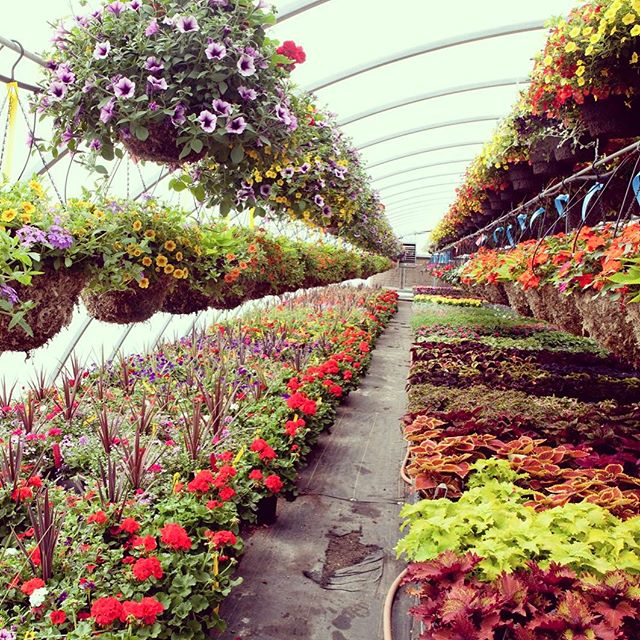 Nursery day! We love filling up our trailers with beautiful locally grown flowers! #theturftailors #