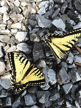 butterflies FB copy.jpg