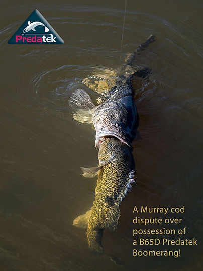 A slightly larger Murray cod tries to steal a fishing lure from another.