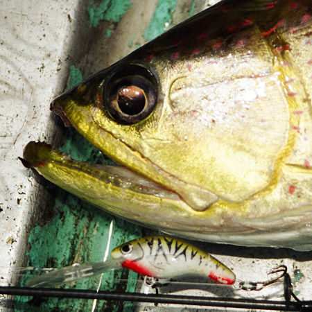 A saratoga from theBensbach River in Papua New Guinea that was caught on a Predatek M40D MicroMin fishing lure