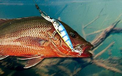 A mangrove jack caughton a Predatek S85 Spoonbill fishing lure in Barra Blue colours