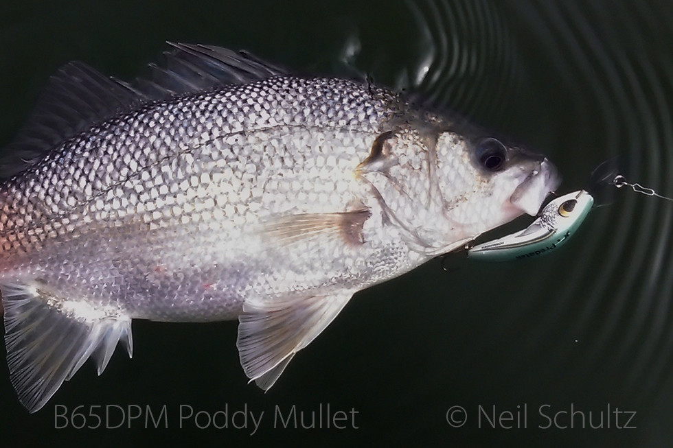 Australian bass caught on Predatek B65D Boomerang in Poddy Mullet (PM) colour