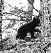 Black Bear Cub 11.png