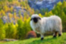 Filzprodukte - Schweizer Schaf für HFS-Kollektion - Home Farming Solutions