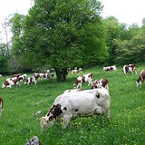 PASCALE F_vaches.JPG