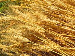 小麦刈り取り後