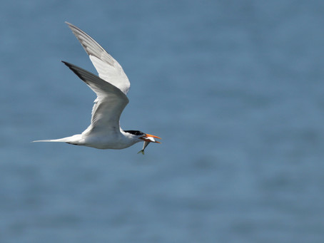 Pelagic birds, a real challenge!