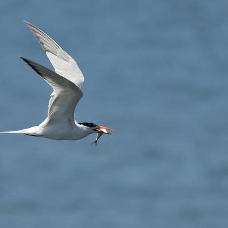Pelagic birds, a real challenge!