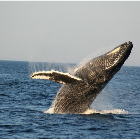 Meeting with a giant: The humpback whale.