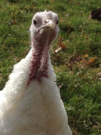 Thelma Turkey.jpg