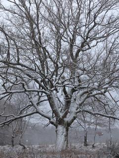Oak in Winter.jpg