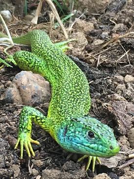 Green Lizard.jpg