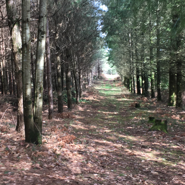 Woodland track to Cerise Cabin