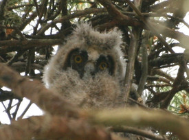 Young Owlet.JPG