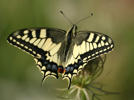 Swallow Tail.jpg