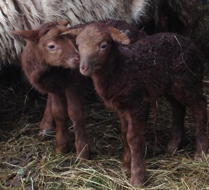 Solognote Twin Lambs.jpg