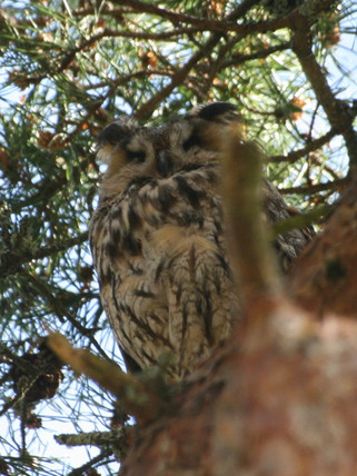 Long Eared Owl.jpg