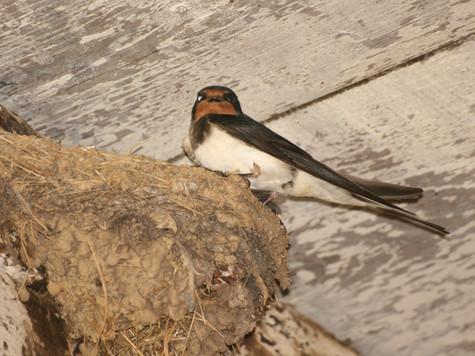 Swallow on Nest.jpg