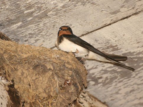 Swallow on Nest.jpg