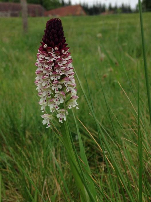 Neotinea usulata orchid.jpg