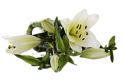 lily-2124772_1920_edited.png