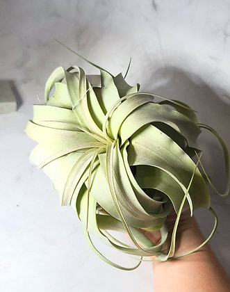 WS xerographica air plant