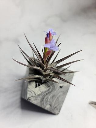 WS Small Jonesii rare air plant