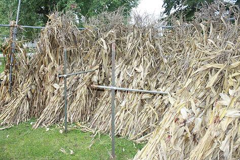corn stalks.JPG
