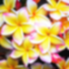 pua-melia-jade-moon- HP画像_edited.png