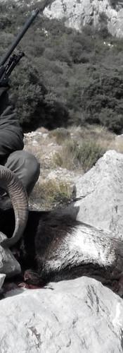 Муфлон в Испании сезон охоты
