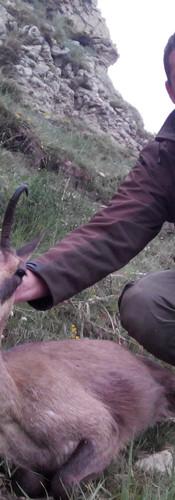 Кантабрийская серна в Испании зезон охоты