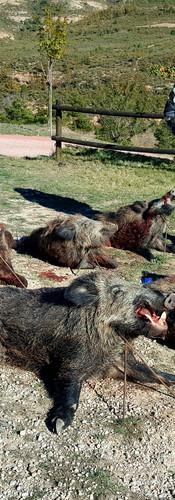 Загонная охота на диких кабанов в Испании
