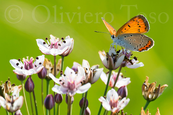Farfalla Lycaena Dispar