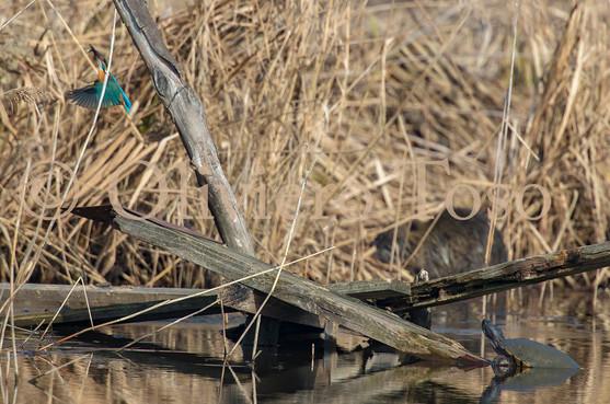 Kingfisher and Turtle