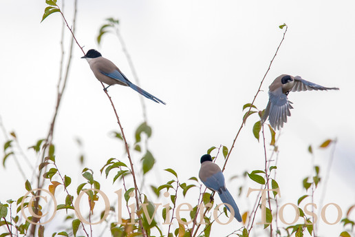 AZURE WINGED MAGPIES