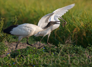 Sacred Ibis and Little Egret