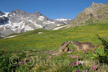 Marmotte P.N. Gran Paradiso