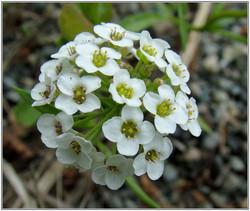 Flor de Mel Branca