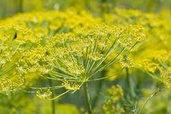 Flor de Erva Doce