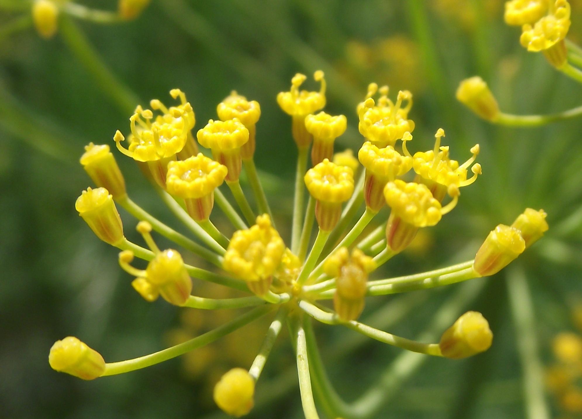 Flor de Dill
