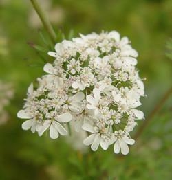 Flor de Coentro