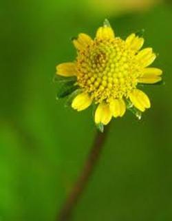 Flor de Jambu