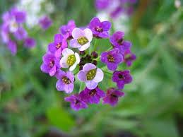 Flor de Mel Roxa