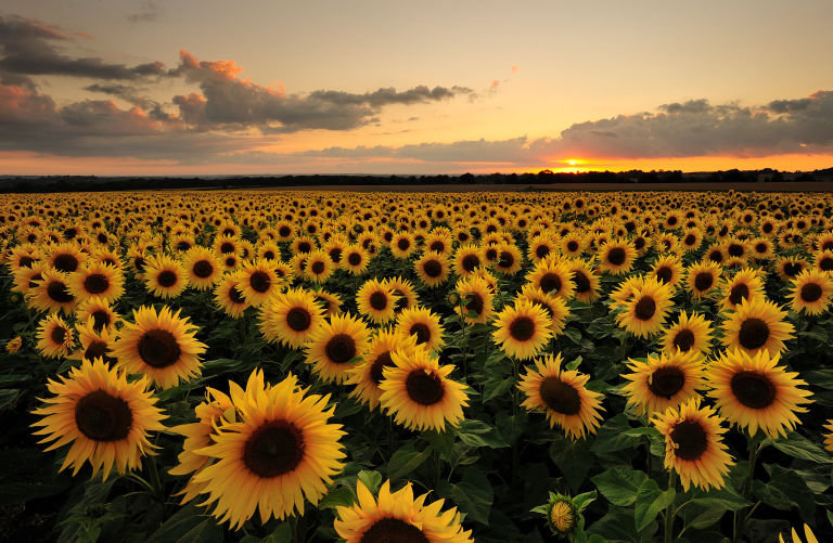 gallery-1460725080-sunflower-field.jpg